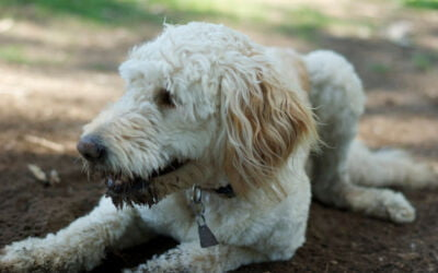 Total Recall – Teaching a Dog to Come When Called
